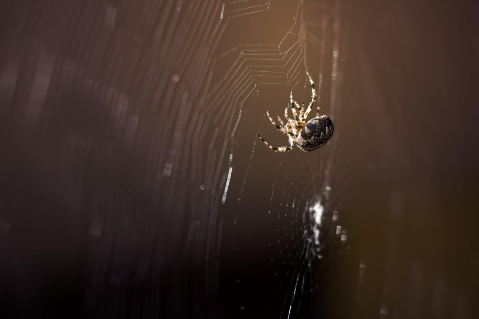 Spinne Nahaufnahme, Dunkler unscharfer Hintergrund, Bokeh