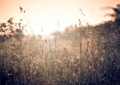 Makro von Schilfhalmen im Sonnenaufgang, Sepia Filter